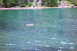 Beaver at Morningstar Lake