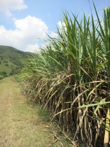 A row of sugar cane similiar to the one our cab driver crashed into