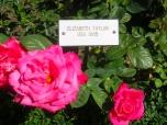 Elizabeth Taylor roses